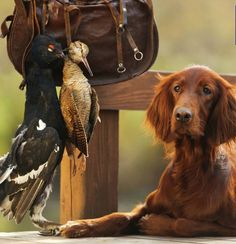 Irish Setters--not just another pretty face. These dogs were to hunt upland game birds and they do it quite well when trained. The Tweed Fox Irish Setter, Baby Puppies, Dogs And Puppies, Pet Dogs, Dog Cat, Hunting Dogs, Hunting Stuff, Dog Games, Family Dogs