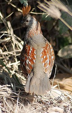 Elegant Quail - endemic to Pacific-slope thorn forest of north-western Mexico, from southern Sonora to Nayarit