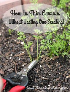 How to thin carrots without wasting one seedling. A couple of thinning options for you to choose from. Thin carrots without wasting your seedlings.