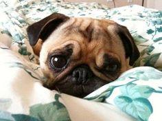 Super cute pug