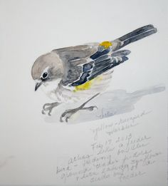 Sketching in Nature: Yellow-rumped Warblers