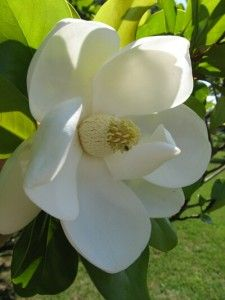 Southern Magnolia - I can smell them just looking at the picture.