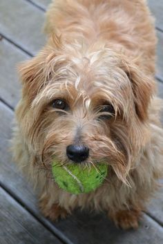 "*Our little Norfolk terrier doing what he loves best...""take me out to the ball game"""