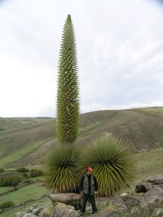 Puya raimondii [ Family: Bromeliaceae] flowering in Ayacucho, Peru. Puya raimondii, also known as Queen-of-the-Andes, is an endemic species of Bolivia and Peru, and whose distribution is restricted to the high Andes at an elevation of 3200 – 4800 m.