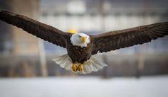 Hovering Bald Eagle on the Mississippi
