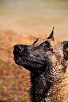 Belgian Malinois - my maligator Mya Berger Malinois, Belgian Malinois Dog, Beautiful Dogs, Animals Beautiful, Doggies, Dogs And Puppies, Belgium Malinois, Animal Crackers, Large Dog Breeds