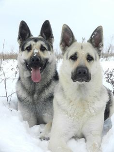 GSDs I would like to have on of these dogs beautiful dogs love the colors too