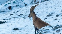 September Ibex near Nid d'Aigle train station in the French Alps after one of the first snows of the season Winter Mountain, French Alps, Mountain Landscape, Train Station