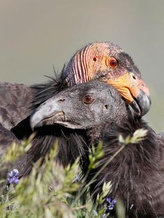 Condor Chick Has Two Mommies | Audubon. A California Condor nuzzles a chick. Condor chicks are dependent on their parents for at least six months. Photo: Loi Nguyen/Audubon Photography Awards