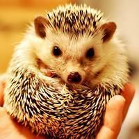 Cute little hedgehog iPad wallpapers 1024x1024 (11)