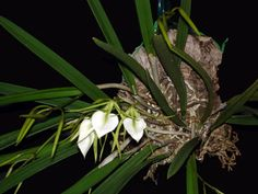 How to mount orchids- yeah, I know, it sounds funny to me too.