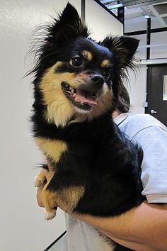 chihuahua daschund long hair mix - Google Search