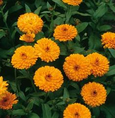 Commercial Calendula Cultivation