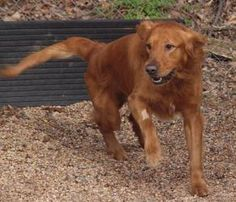 Knuckles is an adoptable Golden Retriever Dog in Reinholds, PA. Assistant Kennel Manager Heather says 'He's a sweetheart. I love that dog.' And she adds that he loves to look at you with his deep brow...