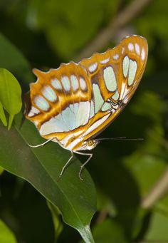"""Schmetterling Insel Mainau Schmetterlingshaus • Butterfly • Weil die Schmetterlinge nicht hinter Glas zu beschauen sind, sondern man mitten durch das Schmetterlingshaus als Besucher laufen kann, konnte unser Fotograf Rudolf Warda die Schmetterlinge """"hautnah"""" fotografieren."""