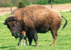 African buffalo one and only most winning grazers in Africa . Buffalo live in the swamp and forests and meadows filled and High Mountain. Buffalo Animal, Baby Buffalo, Buffalo Art, Cow Pictures, Animal Pictures, Buffalo Pictures, Cute Baby Animals, Animals And Pets, Wild Animals