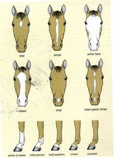 Draw Horses Horse Anatomy Pictures-Think Like a Horse-Rick Gore Horsemanship ® Spirit Der Wilde Mustang, Zebras, Horse Markings, Horse Information, Horse Anatomy, Horse Facts, Horse Camp, Animal Science, Horse Tips