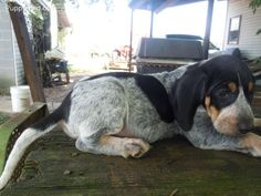 """Bluetick Coonhound.......we use to have a redtick...loved him """"Cooter"""""""