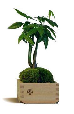 Kokedama | Aquaphyte | #basileek #kokedama #bonsai
