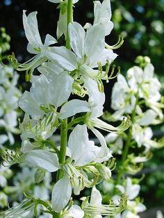 Botanische naam  : Dictamnus albus 'Albiflorus' Nederlandse naam : Vuurwerkplant