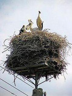 The White Storks of Poland - Bociany