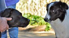 No hay como prever como un perro pueda reaccionar a la llegada de un nuevo compañero canino. Es...