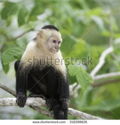 Gracile Capuchin Monkey in a costa Rica tropical forest on a tree branch.