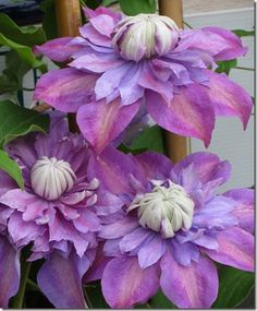 How to Grow Climbing Clematis in Your Garden