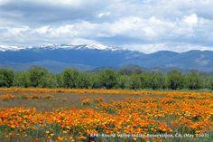 California Poppies. Round Valley California. 2003
