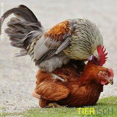 Wenn der Hahn kräht auf dem Huhn, hat das mit dem Wetter nichts zu tun.