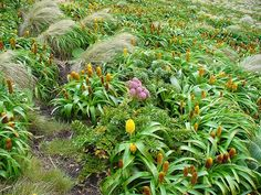 A megaherb community on the subantarctic Campbell Island, New Zealand. The yellow flowers are Bulbinella rossi, the pink are Anisotome latifolia, and the pleated leaves on the right of the photograph are those of a Pleurophyllum species