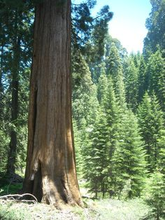 Big tree & forest view, Mountain Home State Forest, Tulare County, California. DSMc.2012