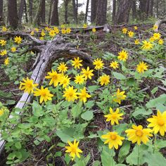 Wildflowers are everywhere right now! Here, Arnica grows wild in Granite County. Hikes at The Ranch at Rock Creek, Philipsburg, Montana's luxury guest ranch have never been more beautiful. It's time to get out and explore!