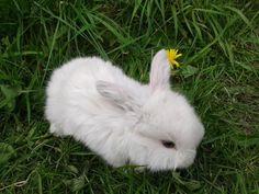 mini lop rabbits - Google Search
