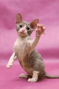 Cornish Rex Cat - I will always have one in my house - I adore this breed!