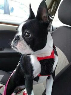 Cute Boston Terrier Dog Pictures #BostonTerrier