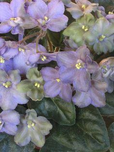 """http://www.senpoliamini.ru/forums   """"АН-Возвращение в Невинность. Компактная розетка маленьких средне-зеленых блестящих листьев, овально-заостренной формы. Мелкие простые цветки фиалковой формы. Окрас цветков от лавандово-голубого с полосками серого тона до жемчужно-серого или темно-зеленовато-серого. Возможно появление вариантов только с голубоватыми цветками, но по мере взросления цветков на них появляются темно-серые полосы и зеленые оттенки. При размножении листом часто получаются…"""