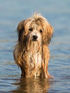 Havanese Sandra Huber Havanese Puppies, Dogs And Puppies, Swimming, Animals, Swim, Animales, Animaux, Animal, Animais