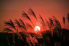 Pampas grass and sunset by shinichiro saka