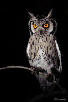500px / Southern White faced Scops Owl by Brandon Huntley