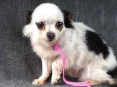 "Petango.com – Meet Blizzard, a 6 years 2 months Chihuahua, Short Coat available for adoption in COLORADO SPRINGS, CO. ""Blizzards can be beautiful, invigorating, and fun - just like me! Shall we snuggle and stay warm? - Love, Blizzard"" Call (719) 445-6787 to speak to an adoption representative at National Mill Dog Rescue."