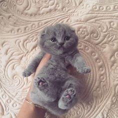 adorable gray kitten: Scottish Fold Kitten, Cats, Gray Kitten, Animals, Grey Kitten, Kittens, Baby, Kitty