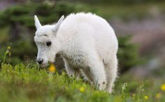 Daily Cute: Baby Mountain Goat