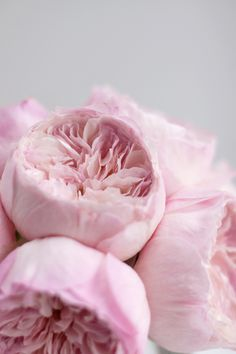 Keira from David Austin. Find David Austin Roses, Meilland and other Luxury (scented) garden roses at www.parfumflowercompany.com