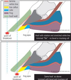 All horse owners should know the anatomy of their horse. Especially their hooves. Think of how much weight is supported on such a small structure. Hoof care is key Horse Anatomy, Animal Anatomy, Leg Anatomy, Horse Information, Horse Care Tips, Horse Riding Tips, Horse Facts, Horse Camp, Horse Training