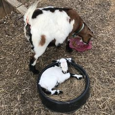 Goat Yoga and Baby Goat yoga in Rock Hill SC Goat Yoga, Rock Hill, Goat Farming, Baby Goats, South Carolina, Animals, Animais, Animales, Animaux