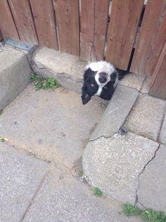 Border Collie lol ~