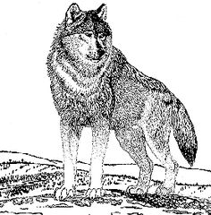 Realistic Coloring Pages Of Animals | Gray Wolf - NYS Dept. of Environmental Conservation