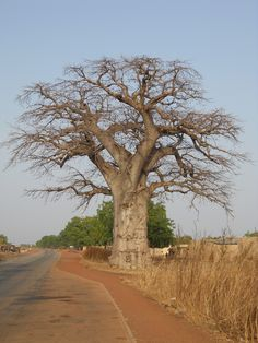 Amazing Bilbo tree in Burkina Faso in West Africa.