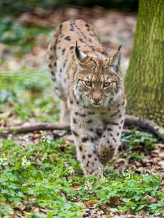 Lynx walking in the forest